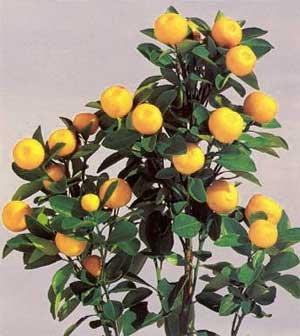 Апельсиновое дерево из апельсинов - Как вырастить апельсиновое дерево