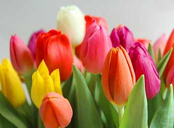 Выгонка тюльпанов к 8 Марта 91