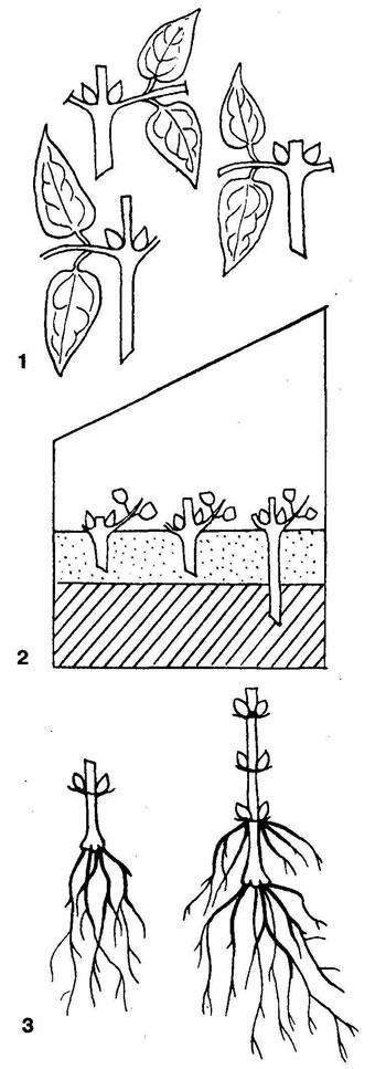 Выращивание черенками клематис 15