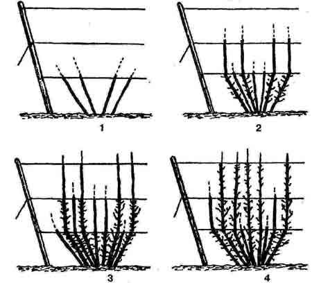Куст красной смородины на шпалере: 1 - начало формирования; 2 - второй год; 3 - третий год; 4...