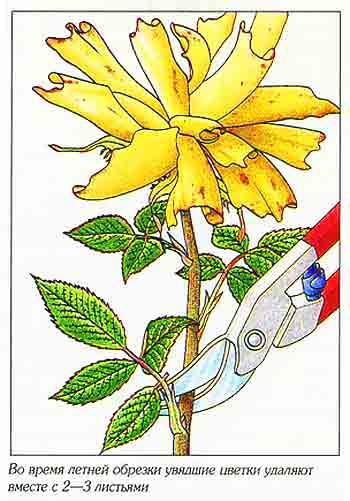 Розы обрезка после цветения