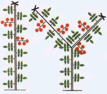Как правильно формировать томаты в 3 стебля