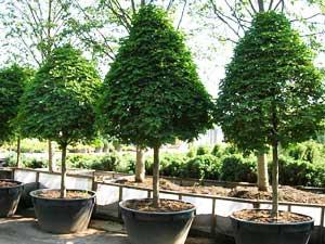 Деревьев крупномерные деревья время
