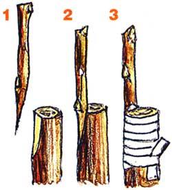 Как привить грушу на рябину