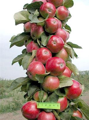 карликовая яблоня сорта фото