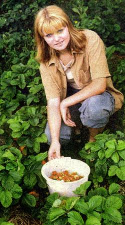 Ремонтантная клубника уход осенью