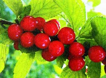Виды вишни можно выращивать в саду