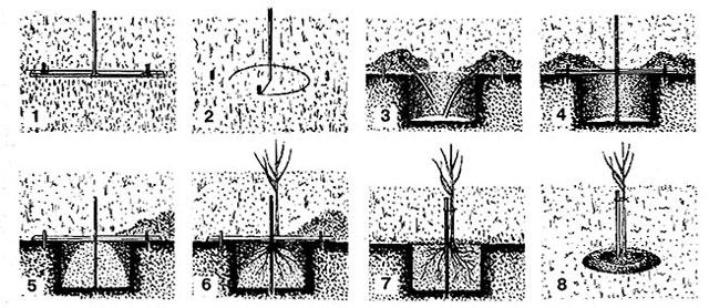 ямы для посадки яблони