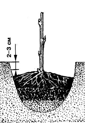 ...почву обязательно мульчируют торфом, полуперепревшим навозом или компостом слоем 6 - 8 см. Время посадки.