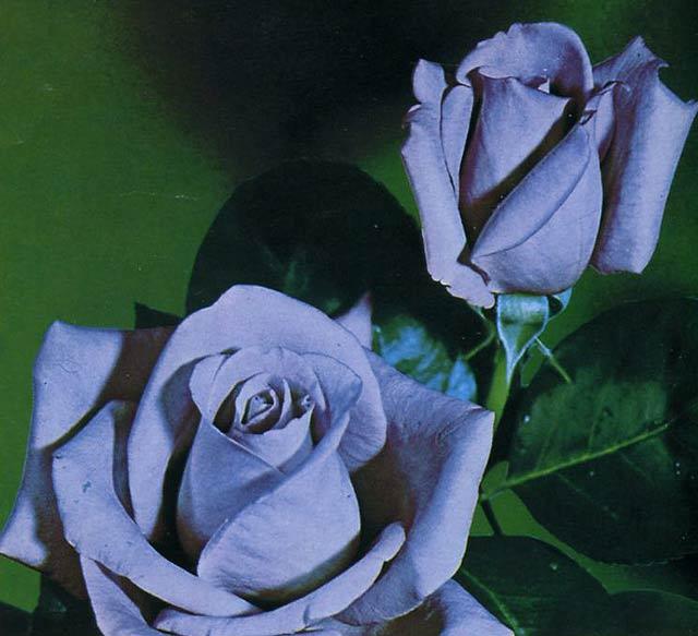 чайно гибридные розы сорта фото