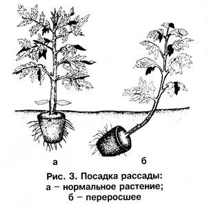Посадка рассады помидоров в грунт