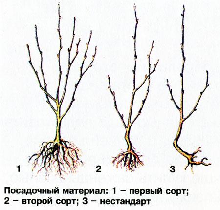 Саженцы вишни когда сажать