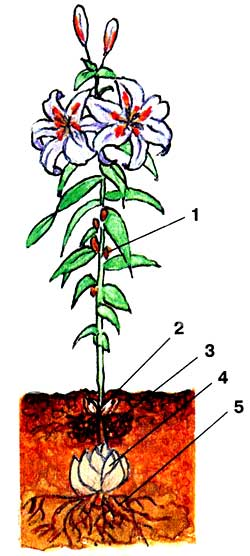 Рис.1 Схема строения растения