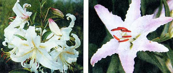 лилии восточные гибриды сорта фото
