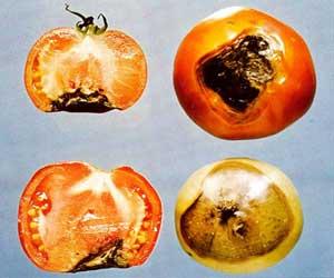 Картинки по запросу черная ножка на помидорах