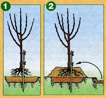 Как сажать деревья в глинистую почву 39