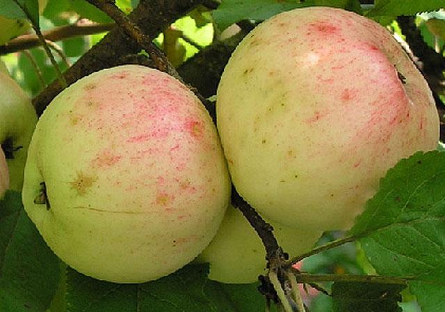 Яблоня сорт аркадик раннего срока