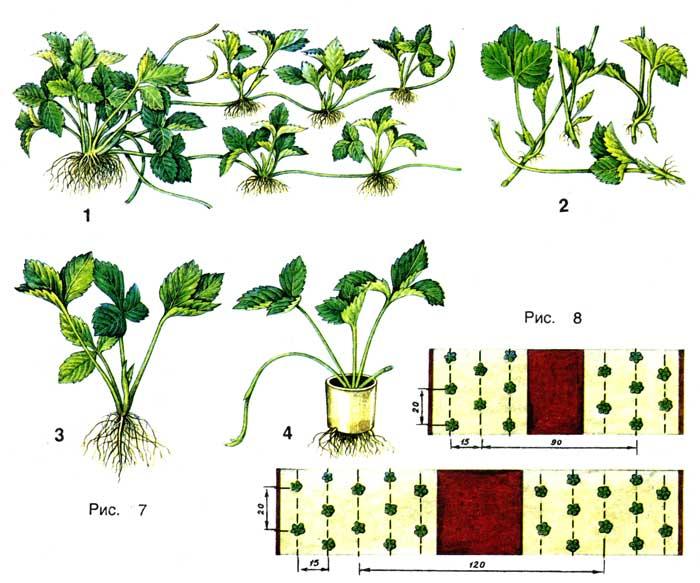 Посадка сортов садовой
