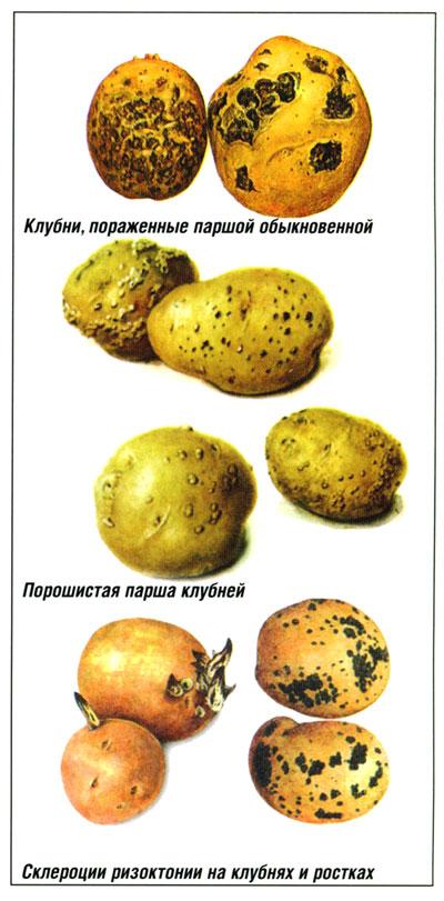 болезни картофеля  описание