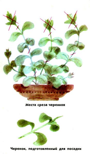 petunia_02.jpg
