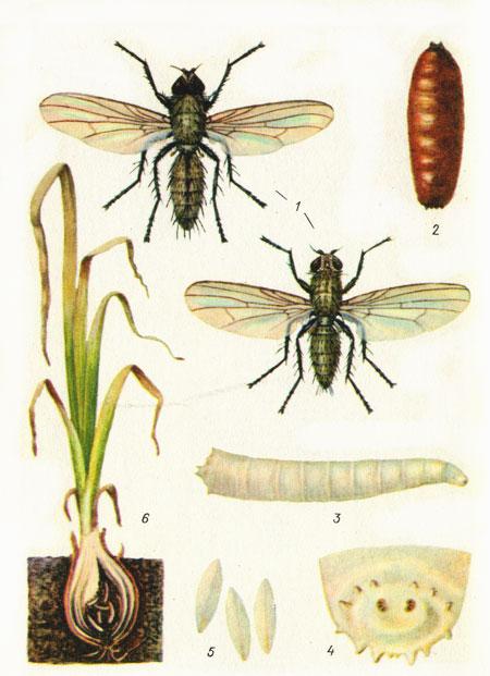 фото луковая муха