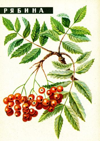 И ягоды • рябина обыкновенная сушка
